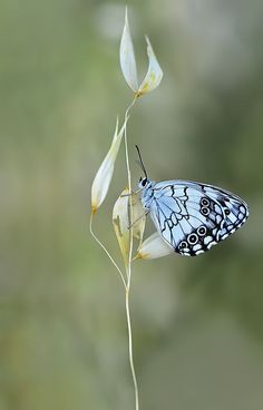 Melanargia titea -4 by Mustafa Öztürk on 500px