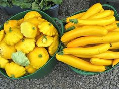 Squash: Can even be grown indoors, just allow 6 feet of room -- they get big! ONE plant produces a LOT of squash, so expect to harvest plenty. Plant in warm temps.