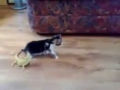 cat gets scared by lizard and loses its mind!