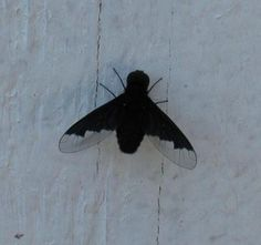 This is a bee fly. He or she may look like a horse fly but he or she is a pollinator and beneficial.