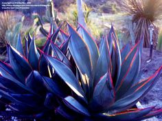 Full size picture of Agave 'Blue Glow' (<i>Agave</i>)