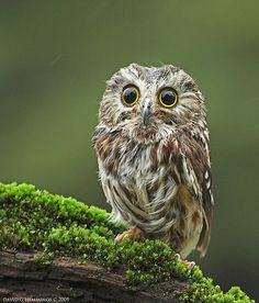 In the mossy forest, a Saw Whet owl.