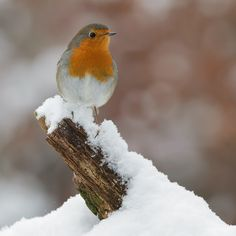 Winter Robin by Mark van der Walle. S)