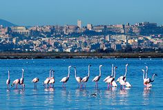 Cagliari -flamingos