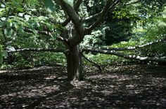A lovely tree in The Gardens that gives a lot of shade!