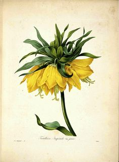 Yellow Crown Imperial (1833)