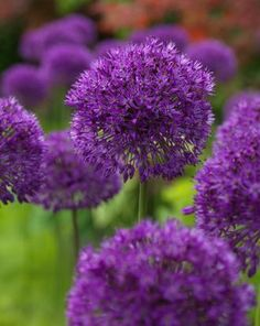 True to its name, this is a sensational Allium. The strong stems of the Allium Purple Sensation can rise up to to high. Allium Purple Sensation Flower Bulbs are available at DutchGrown at wholesale pricing for Fall shipping. Allium Flowers, Tall Flowers, Exotic Flowers, Planting Flowers, Beautiful Flowers, Flowering Plants, Potted Plants, Purple Flowers, Deer Resistant Flowers