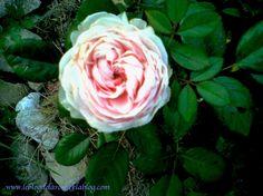 Rose donne-moi ton coeur !/ Rose, give me your heart ! - Le blog de Semper Rose