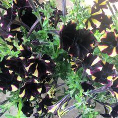 Oggi giardinaggio dark  Troppo bella per non portarla a casa con me!!! #petunianera #petunia #polliceverde #dark #giardinaggio #natasciapane #nofilter