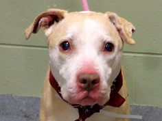 URGENT - Manhattan Center    VELVET - A0995073    FEMALE, TAN / WHITE, PIT BULL MIX, 5 yrs  STRAY - STRAY WAIT, NO HOLD  Reason STRAY   Intake condition NONE Intake Date 03/28/2014, From NY 10454, DueOut Date 03/31/2014  https://www.facebook.com/photo.php?fbid=779613845384830&set=a.617938651552351.1073741868.152876678058553&type=3&permPage=1
