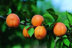 ABRICOTIER Pêche de Nancy Plantation, Apples, Apple Tree, Apricot Tree, Bud, Farm Shop, Apple