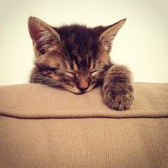 "Kitten Reaches Summit of Sofa, Immediately Naps By Anna Washenko, FluffPo Correspondent Ever since she was a kitten, Tabby has dreamed of being a mountain climber. Today she successfully completed a test run of the sofa in her living room. ""I'm really proud her,"" said climbing coach Elizabeth Waters. ""This is the tallest piece of furniture she's climbed yet."" Though the climb only took her about 7 minutes, the effort seemed to wipe her out, and the cat celebrated her ..."