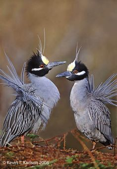 Yellow-crowned night herons (photo by kevin karlson)