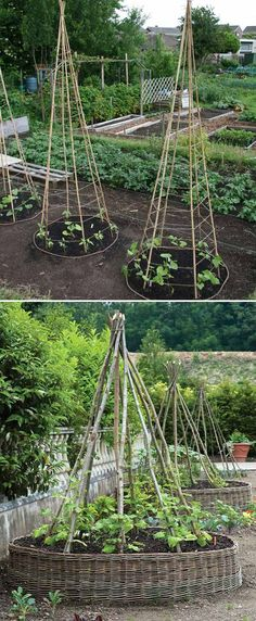 This structure is very good for climbing plants, it saves space and can make harvesting and maintenance easier