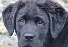 Dog Card Black Labrador Puppy Fine Art Photo Greeting Card Black Lab Card Watercolor style print by overthefenceart on Etsy