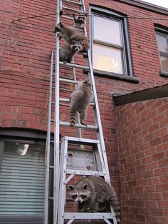 oronto Star reader Wilson Lee shares this endearing photo he took of a family of 5 raccoons that were living under his deck in Toronto, as they were heading out for the evening. Lee says the ladder was set up by his neighbour who was doing work on his roof.