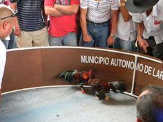 Pelea de gallos Lares Puerto Rico 2012