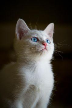 Beautiful White Cat !! ❤❤❤