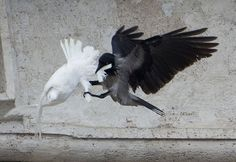 Or, add a twist and have the Dove attacking the Crow! Imply something May look sweet on the outside but on the inside not so much. S N I P P E T S - A black crow attacks one of the Pope's white doves. The Crow, Papa Francisco, Chicano, Ukraine, Place Saint Pierre, Bird Attack, Dove Release, Saint Peter Square, Cloak And Dagger