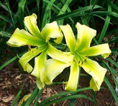 Daylily (Hemerocallis 'Green Widow') uploaded by Joy Green Flowers, Love Flowers, Colorful Flowers, Beautiful Flowers, Daylily Garden, Lilies Of The Field, Day Lilies, Garden Gates, Dream Garden