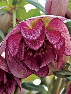 Helleborus Peppermint Ice - Hellebores are late winter-flowering perennials for the woodland shade garden. Hardy to Zone 5 to F) - Gardening Sustain Unusual Flowers, Unusual Plants, Rare Flowers, Amazing Flowers, Beautiful Flowers, Simply Beautiful, Lenten Rose, Shade Plants, Ranunculus