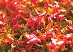 Periquito-vermelho  (Foto: Acervo Casa e Jardim)