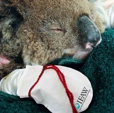Volunteers around the world are sewing and sending mittens to help koalas that suffered burns on their paws while trying to escape the catastrophic bush fires in South Australia and Victoria.