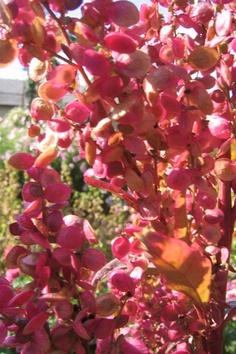 Havemælde er den ældste dyrkede spinatplante i Danmark, og de spydformede blade er gode i salater og som spinat. Havemælde fås i både en grøn og rød udgave og tilfører maden et virkelig flot islæt af farve og en let bitter, men fin smag. Havemælde kan sås i april-juni.