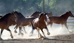 Budweiser Clydesdales enjoying some play time.