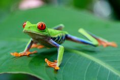 This cute frog (Green Tree Frog) is photographed in Tortuguero, Costa Rica.