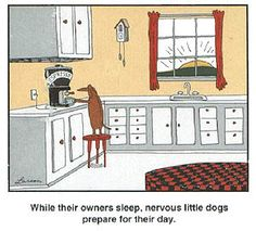 While their owners sleep, nervous little dogs prepare for their day with a cup of coffee.  A Gary Larson Dachshund Cartoon
