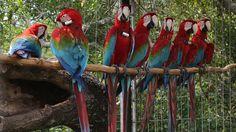 Vuelos de libertad: el regreso de los guacamayos a los cielos de Corrientes  Siete guacamayos rojos fueron reintroducidos en los Esteros del Iberá. Foto: LA NACION / Santiago Hafford