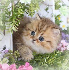 Golden Chinchilla teacup Persian kitten for sale