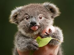 Snack time ... Featherdale Wildlife Park's resident cute koala joey Archer is steadily putting on weight after being rejected by his mum and being raised by hand by park keepers.