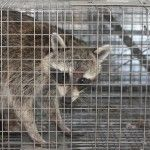 We provide animal control in Apopka for all animal trapping. Dealing with a possible squirrel invasion? Give Critter & Pest Defense a call today and we will be happy to help with our expert squirrel removal services as well as Squirrel Trap in Apopka. More details:http://www.critterandpestdefense.com/damage-can-squirrels-really-cause/