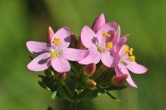 Erythrée petite centaurée, Les fleurs - MonSitePhotos - MonSitePhotos