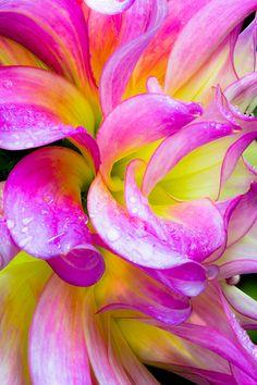 Petals, Raindrops, & Ruffles - a Portrait of Autumn Dahlia #3 | Flickr - Photo Sharing!