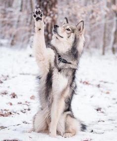 Cavachon Puppies, Viszla Dog, - Dog Pound In Spanish, Puppies Stuff. Wolf Photos, Wolf Pictures, Animal Pictures, Snow Pictures, Beautiful Wolves, Beautiful Dogs, Animals Beautiful, Cute Baby Animals, Animals And Pets