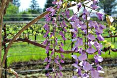We love the Wisteria that pop up on the vineyards every spring! Wisteria, Pop Up, Vineyard, Spring, Plants, Popup, Vine Yard, Vineyard Vines, Plant