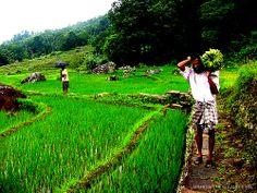 Villager in Sri Lanka paddy filds