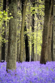 More bluebells! by Today is a good day, via Flickr