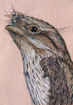 Tawny Frogmouth  30 x 21 cm Pastel on handmade paper $650    SOLD