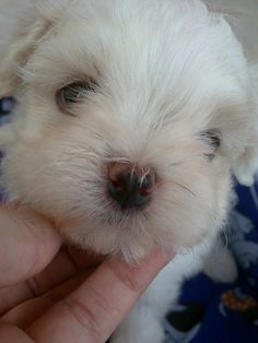 Lana is a maltese puppy who could not be any cuter.
