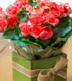 Buque de flores - Arranjo Chantilly  Begônia na caixa  #Felicidade #Carinho #Amor #Casamento #Flores #Rosas #Decoracao #Arranjos #inspirations #flowersinbrazil #flowers #love #delivery #qualidade #floristas #buques #presente #gift - Flores no Brasil, Flores em São Paulo - Flowers to Brazil - @Pollenflores - www.PollenFlores.com.br
