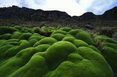 Yareta or llareta (Azorella compacta) - Bolivia.