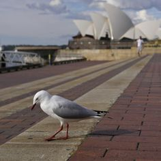 Gull at the Rocks by GreenGrazer on Gull, The Rock, Sydney, Rocks, Bird, Animals, Image, Animales, Animaux