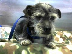 URGENT- BLACKY - ID #A691331 *Senior* I am a male, black and white Terrier mix. I am about 9 years old. http://petharbor.com/pet.asp?uaid=SBCO1.A691331 at the shelter since Mar 04, 2018.