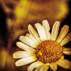 Summer daisy.