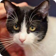 Westampton, NJ - Domestic Shorthair. Meet C-62726 Clayton **PURRFECT PERKS**, a cat for adoption. http://www.adoptapet.com/pet/12286391-westampton-new-jersey-cat