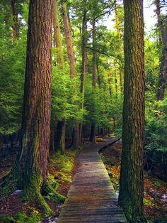 Boardwalk trail through a grove of old-growth hemlocks (Salt Springs State Park, Susquehanna County, Pennsylvania) by Nicholas A. Tonelli cr.c.